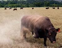 Bydło mięsne jest często trudne do opanowania