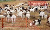 Wypas kóz z pastuchem elektrycznym