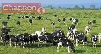 Krowy mleczne na pastwisku